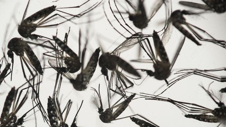 Muggen van de soort Aedes aegypti, die verantwoordelijk worden gehouden voor de verspreiding van dengue en het zika-virus. Beeld ap