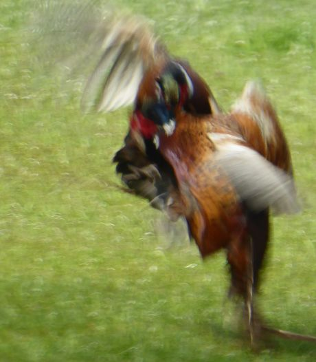 Iets met hormonen en voorjaar...: fazantenhanen op de snavel in Lochuizen