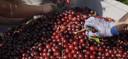 Fruitboerderij Baarlo teelt de Kelleris morel, een zoete variant, een kleine, zachte kers.