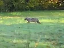 Rencontre étonnante: un loup traverse la route à Maaseik