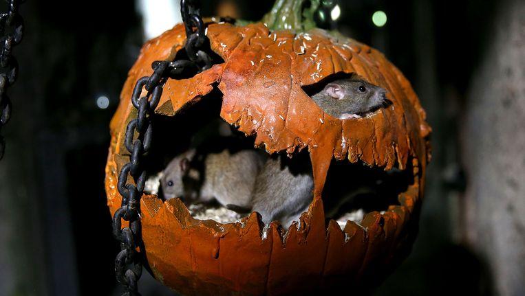 Tradities Halloween.Vier Op Vijf Vlamingen Haten Halloween Binnenland Nieuws