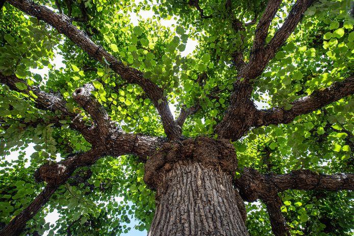 Ertten-Leur - Pix4Profs/René Schotanus. De Moeierboom is in de race de mooiste boom van Nederland te worden.