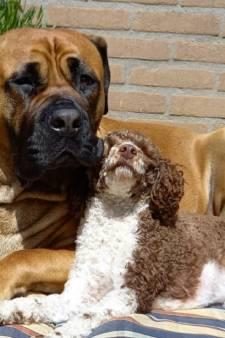 Gehaktballen met gif in bos, hondenhater actief in Warnsveld?: 'Kon het net op tijd uit bek trekken'