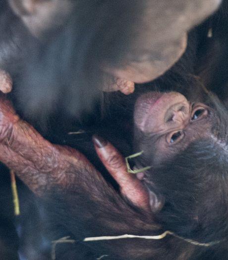Na somber coronajaar begint jubileumjaar in Apenheul een stuk beter: bonobobaby geboren