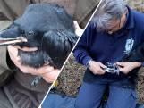 Raven worden met ringen gemonitord in de Loonse en Drunense Duinen