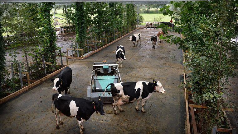 Bomen en een mestrobot in overdekte koeientuin in Groenlo. Beeld Foto: Marcel van den Bergh / de Volkskrant