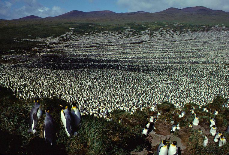 Foto uit 1982. Tweeënhalf miljoen koningspinguïns op Île aux Cochons. Beeld AFP