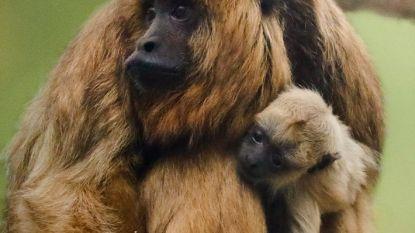 De Ooievaar draait Overuren in Pairi Daiza: babybrulaap erbij