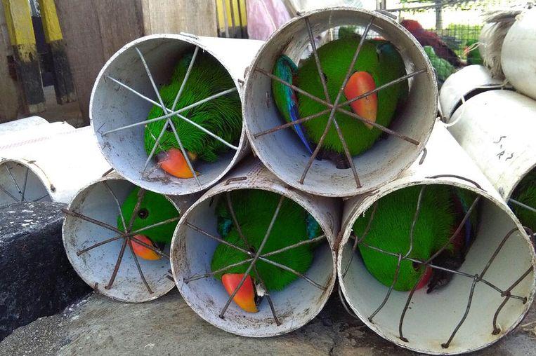 Illegaal verhandelde edelpapegaaien, verstopt in afvoerbuizen in de Molukken. Beeld AFP