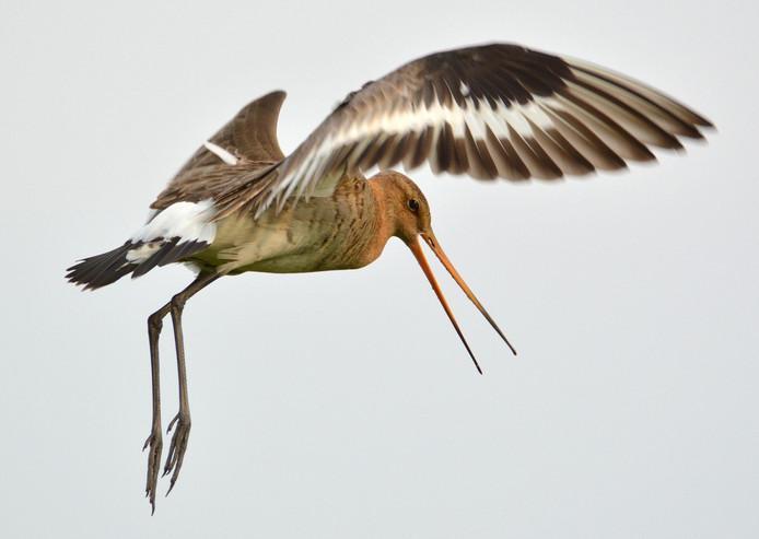 Onze prachtige weidevogel de Grutto. Als er jongen zijn ( pullen ) reageren ze vrij agressief op ongenode gasten.