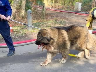Uitgebrande villa in Heidestraat blijkt drugslabo: twee honden gered uit vlammenzee, van de eigenaars geen spoor