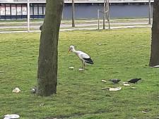 Ooievaar eet een bammetje bij De Ridderhof