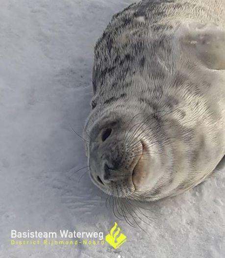 Zeehond rolt door de sneeuw en trekt veel bekijks: 'Blijf op gepaste afstand'