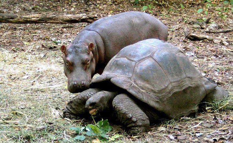 Een geadopteerd baby nijlpaard samen met zijn moeder, een reuzenschildpad, in Haller Park in Mombasa.   Beeld Reuters