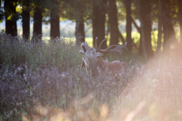 In Het Groene Woud worden door Brabants Landschap excursies gegeven waarin mensen op zoek gaan naar burlende edelherten.