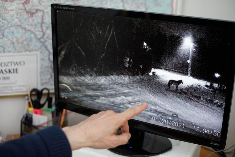 Videobeeld van een wolf die Bialowieza in trekt.  Beeld Piotr Malecki
