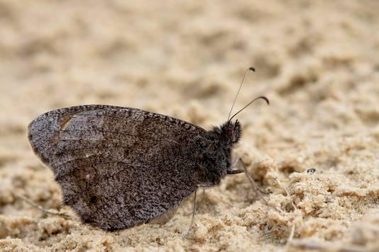 De zwaar bedreigde kleine heidevlinder komt in Nederland nog maar op één plaats voor: op de Veluwe bij Radio Kootwijk