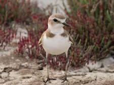 Afgesloten wandelroute Rockanje moet broedende vogels rust geven