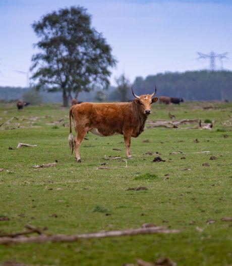 Na edelherten en paarden nu ook heckrunderen in het vizier in Oostvaardersplassen: 'afschot is nodig'