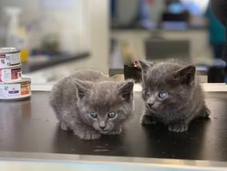Team Dierenwelzijn krijgt veel meldingen van gedumpte kittens
