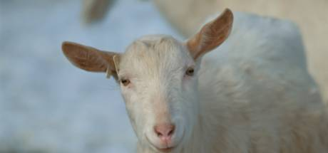 Maasdriel zet geitenhouder pin op de neus; alleen onderhandelen na 'betekenisvol gebaar'