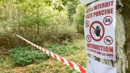 Brachten militairen de Afrikaanse varkenspest ons land binnen? Defensie in vizier na vondst besmette karkassen op militair domein