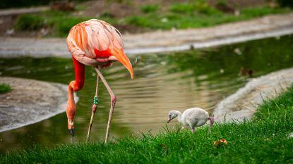 Té schattig: Antwerpse Zoo deelt beelden van flamingokuiken Ubi