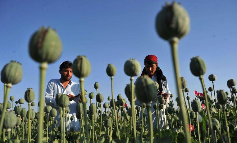 In Afghanistan wordt illegaal veel opium geteeld, waarvan onder meer morfine kan worden gemaakt. Maar paradoxaal genoeg heeft het land geen enkele voorziening voor pijnbestrijding. Beeld AFP