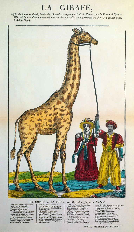 Zarafa's komst leidde tot een giraffengekte in Frankrijk. Er kwamen allemaal giraffenartikelen: serviezen, waaiers, zeepjes en prenten, zoals deze uit 1827. Beeld Getty