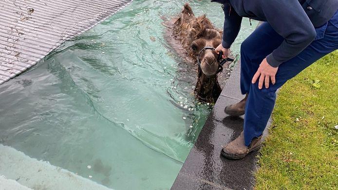 Kameel Petje belandde in het zwembad op dinsdagnacht, de eigenaren van B&B De Zandhoef wisten hem snel weer uit het water te vissen.