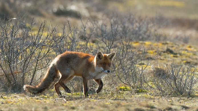 Steeds vaker worden op Voorne-Putten en Goeree-Overflakkee vossen gezien. Dit jaar vindt een groot onderzoek naar het aantal vossen op de eilanden plaats.