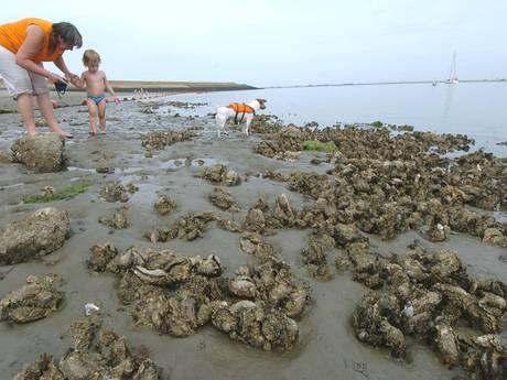 Deze oesters moeten niet op uw bord landen