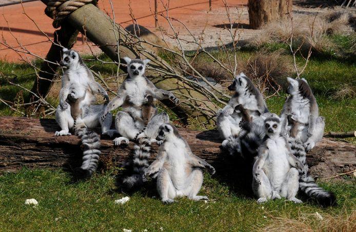 Goed zoeken en je ziet ze: de vier ukkies bij de maki's in de geliefde Rotterdamse dierentuin.