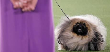 Ce pékinois est le plus beau chien des États-Unis