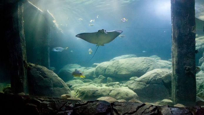 De moederrog in het aquarium van Burgers Zoo.
