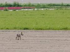 Wolf die opdook in Brabant en Zeeland komt uit Duitsland