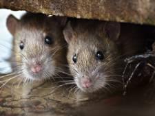 Gemeente Oss: alles gedaan aan vermeende rattenoverlast Schadewijk; slechts één bewoner meldt zich