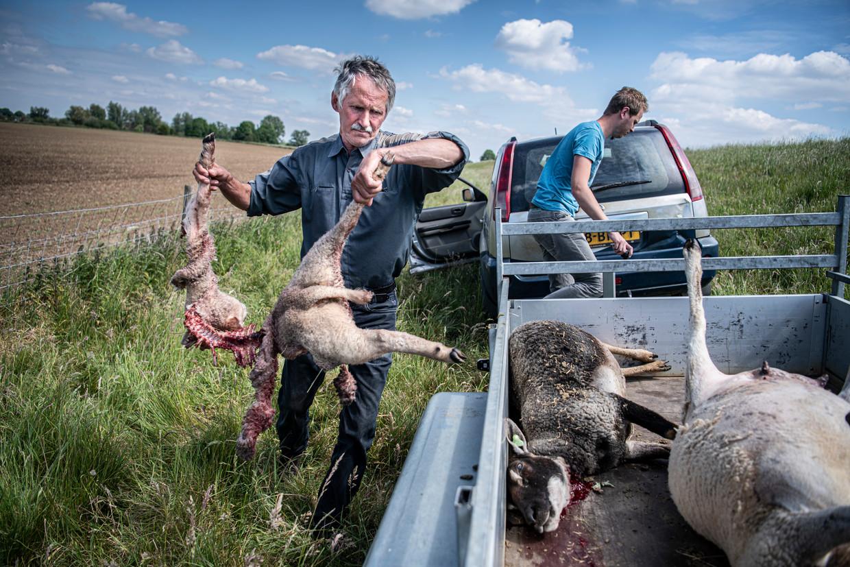 Schapenboer Jos Verhulst had zeker drie keer te maken met doodgebeten schapen door een wolf.