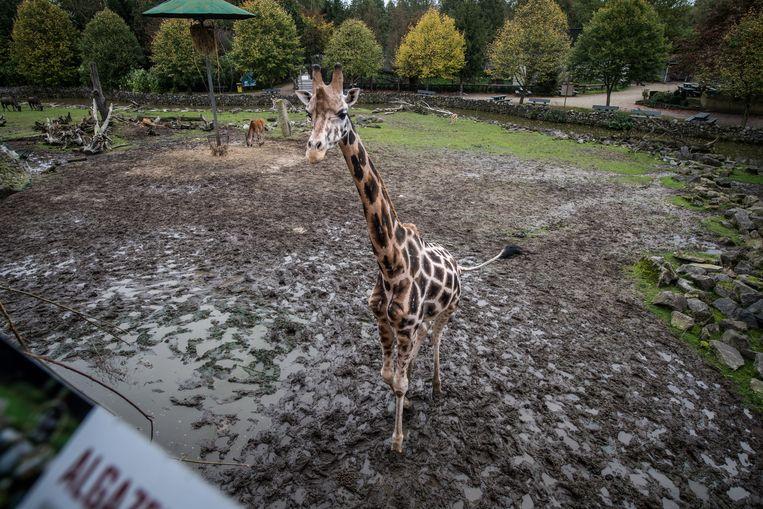 Een giraf in de Olmense Zoo. Beeld Photonews
