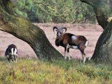Cees Krijger uit Lochem wil dat Tweede Kamer de moeflon tot inheemse diersoort uitroept