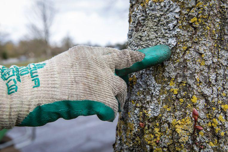 Korstmossen op een boomstam, een specialisme van Barendse. Beeld Dingena Mol
