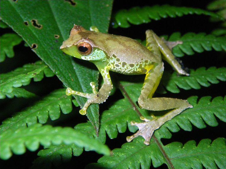 Een van de nieuwe kikkersoorten ontdekt in het noorden van Vietnam genaamd Gracixalus quangi. Beeld Jodi J. L. Rowley / Australian Museum