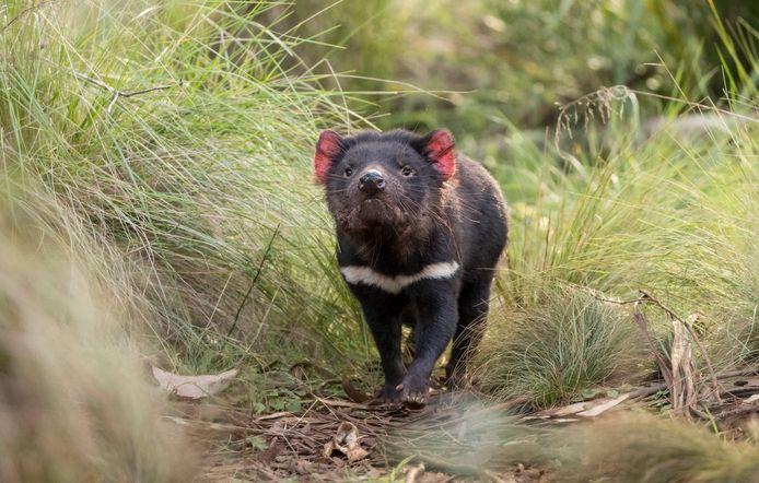 Tasmaanse duivel.