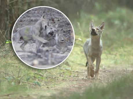 Zien! Exclusieve filmbeelden van wolven op de Veluwe: 'Ik hield mijn adem in'