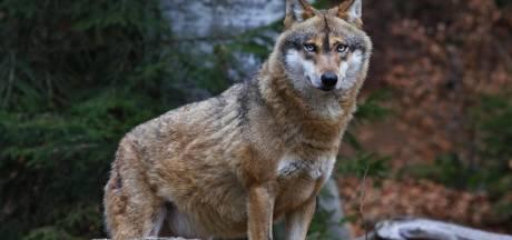 Wolf in 2019 al vier keer gemeld in Overijssel, zeven schapen aangevallen