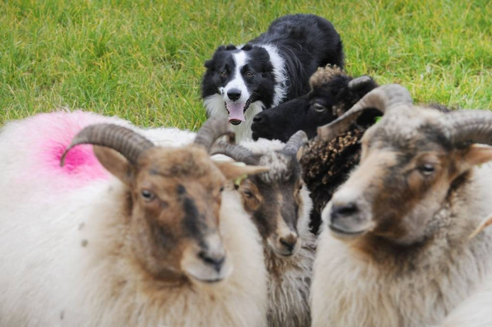 Dex, een van de honden van Peter de Rijter,in actie.