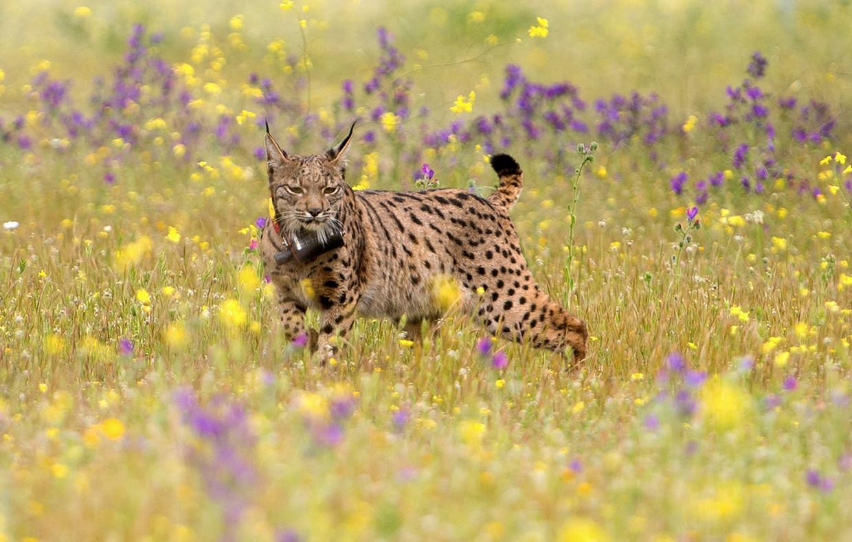 Een Iberische lynx na vrijlating op een boerderij in de buurt van de Centraal-Spaanse stad Toledo Beeld AFP