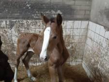Drama voor Gelderse paardenfokker: vier merries overleden na eten vingerhoedskruid