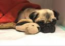 Lola de mopshond werd ernstig gewond gevonden in Dordrecht. Inmiddels gaat het beter met haar. Honderden mensen volgen haar herstelproces op Facebook.