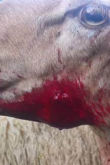 Hond gaat los op kudde: 14 ernstig gewonde schapen